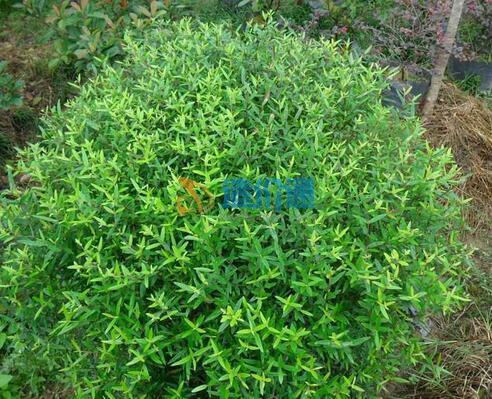 尖叶木犀榄球图片