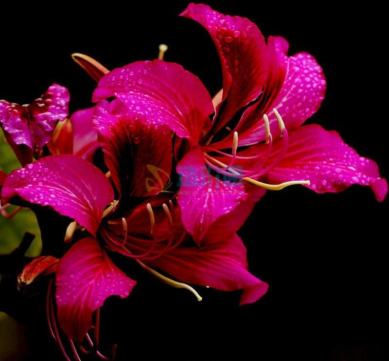 丛生紫荆图片