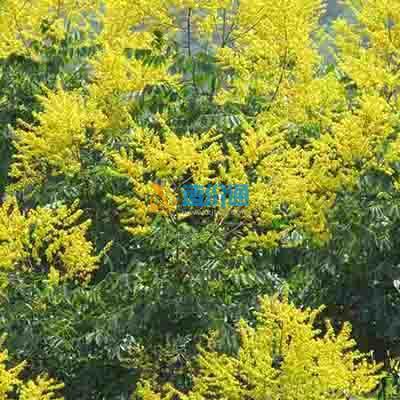 北京栾树图片