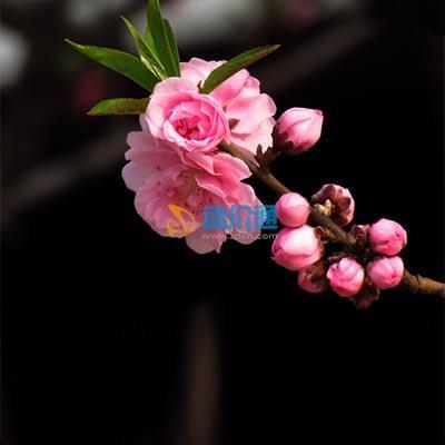 红花碧桃图片
