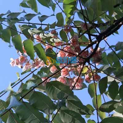 伯乐树图片
