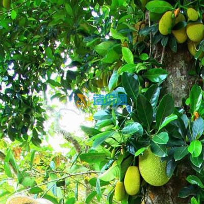印尼菠萝花格图片
