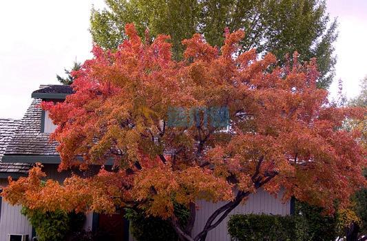 茶条槭图片