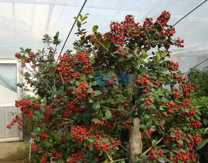 赤楠樹樁圖片