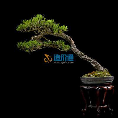 赤松木图片