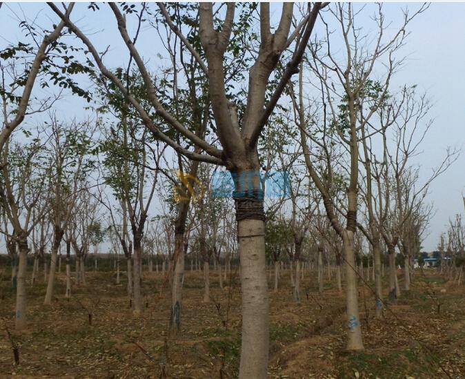 臭椿树图片