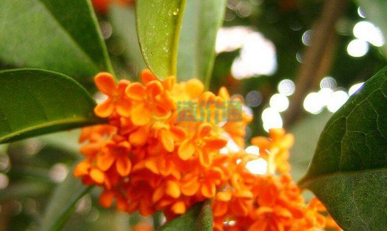 丹桂树图片