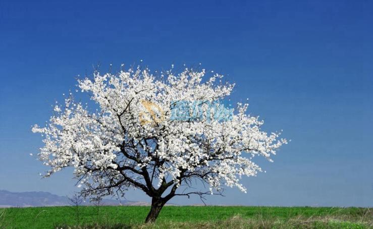 绿冬樱(单瓣、翠绿)图片