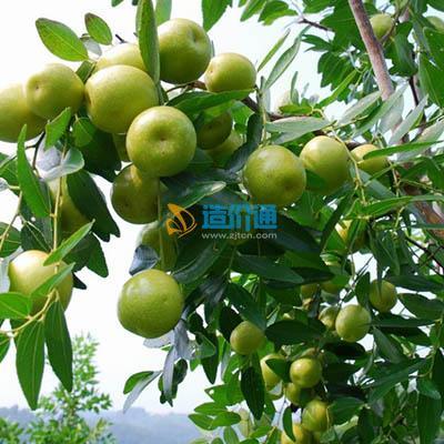 冬枣树图片