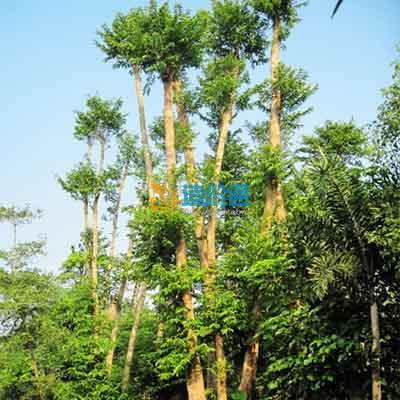 母生树图片
