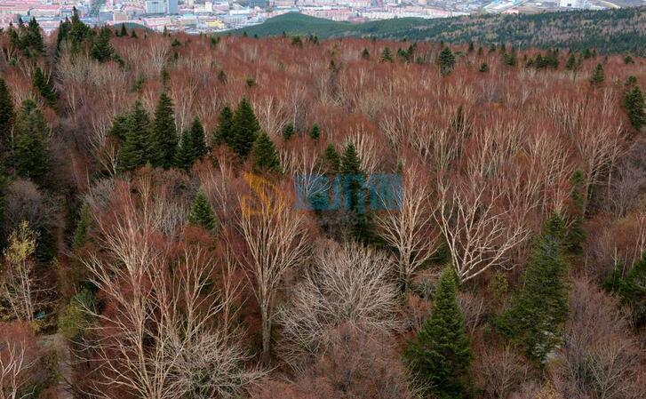 枫桦丛生图片