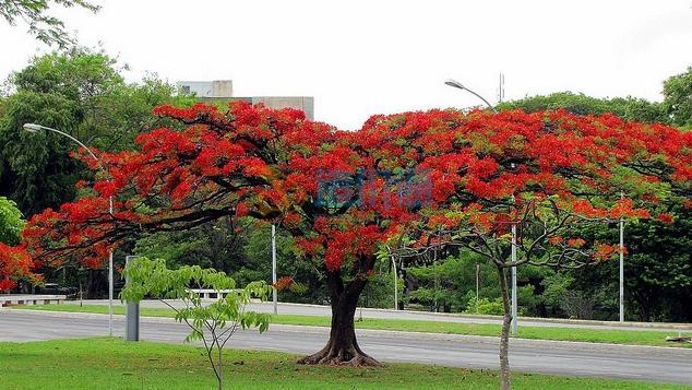 紅花楹圖片