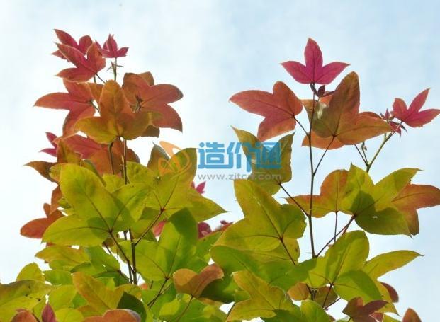 北美枫香图片