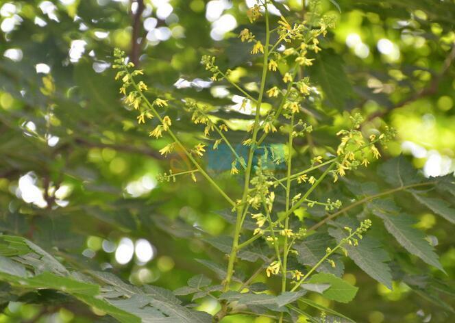 复羽叶栾树图片