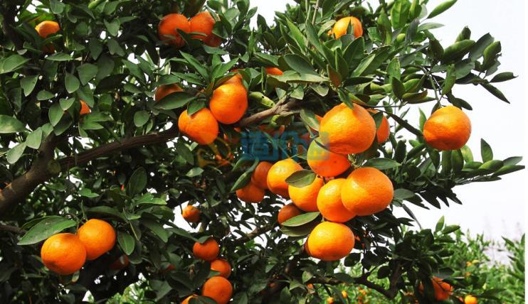 栽植柑橘图片
