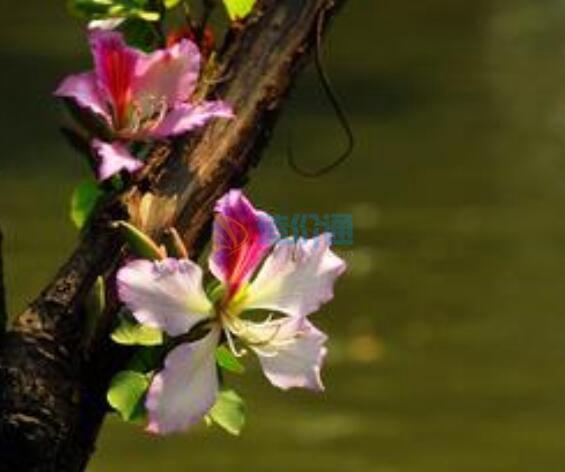 洋紫荆(宫粉)图片