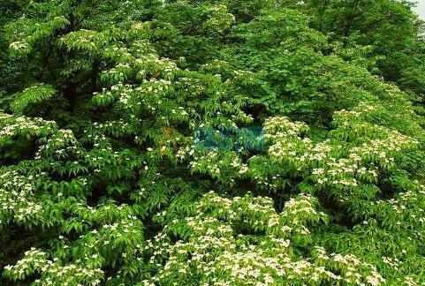 珙桐树图片