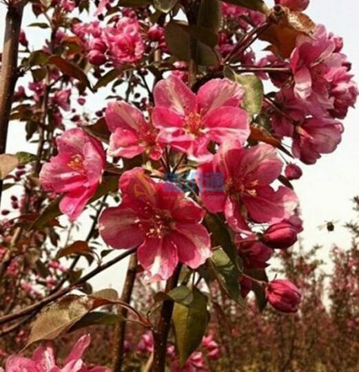 光輝海棠(苗)圖片
