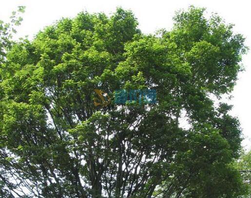 光叶榉苗木图片