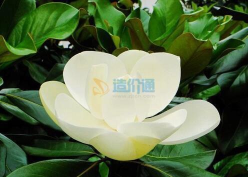 廣玉蘭圖片