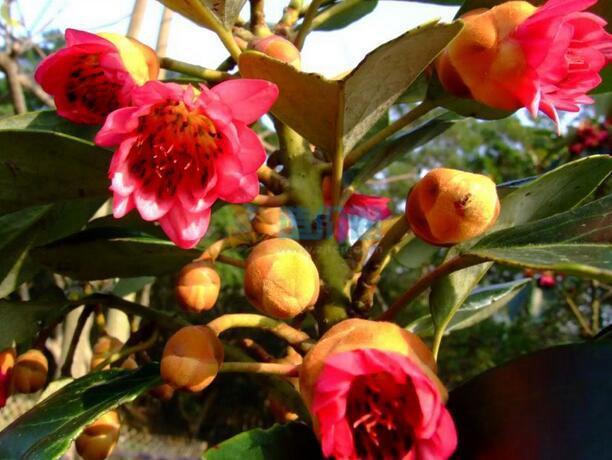 红苞木图片