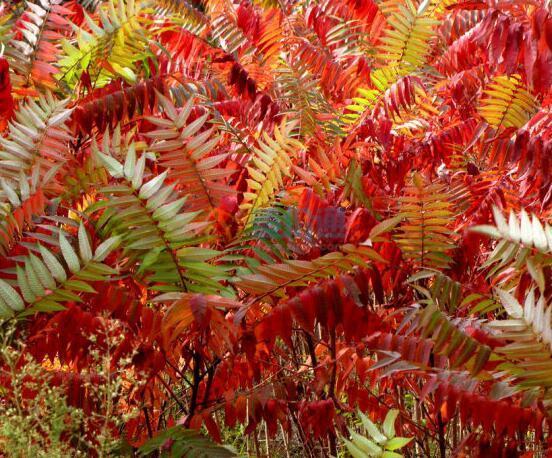 红叶椿图片