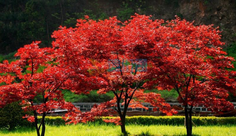 1、红枫C2、高度:150-200cm、干径:5-7cm、冠径:120-150cm图片
