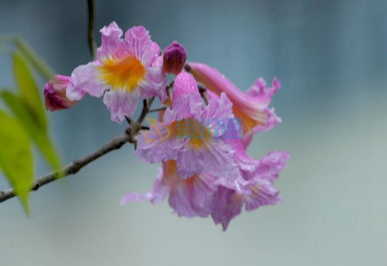 红花风铃木图片