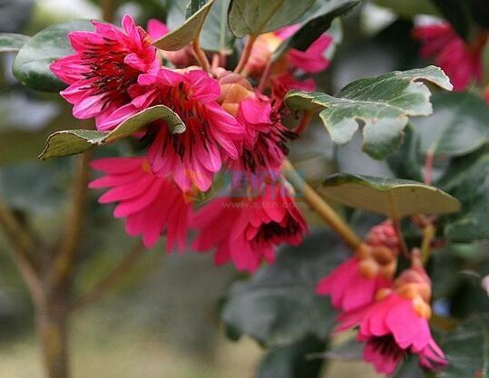 红花荷(红苞木)图片