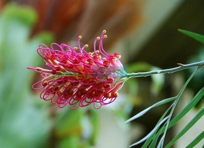 澳州银桦图片