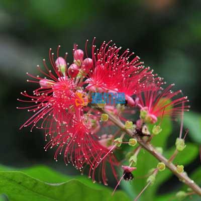 红花玉蕊图片