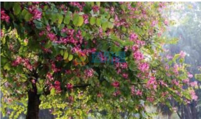 红花紫荆图片
