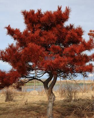 红松(苗)图片