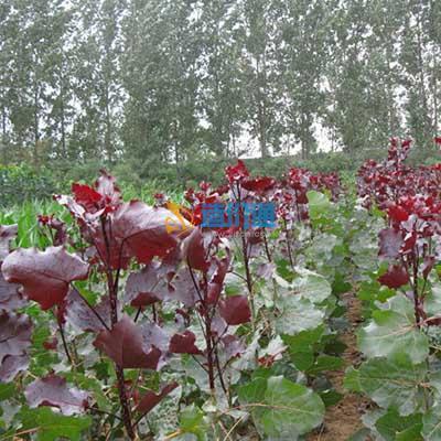 红叶杨图片