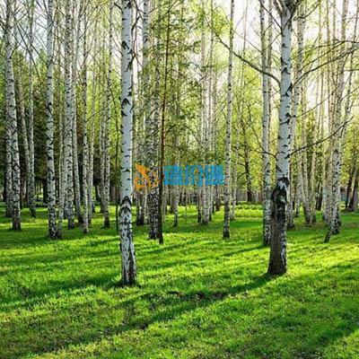 桦木板材图片