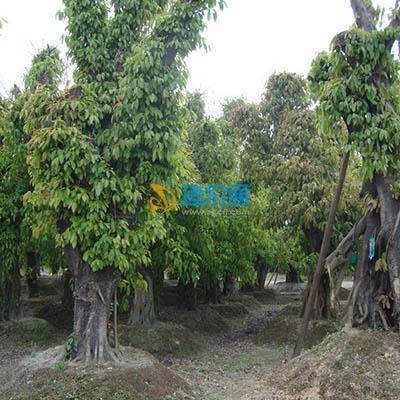 黄角树图片