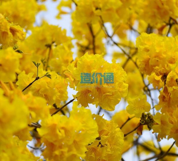 黄花风铃木图片