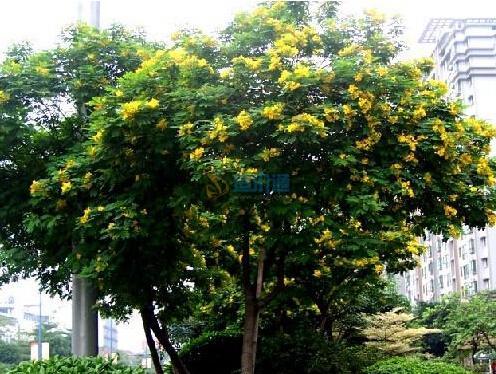 黄花槐图片