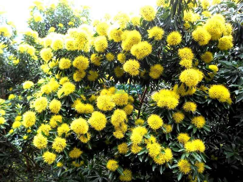 澳洲黄花树图片
