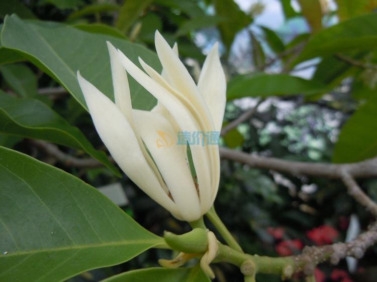 黄桷树图片