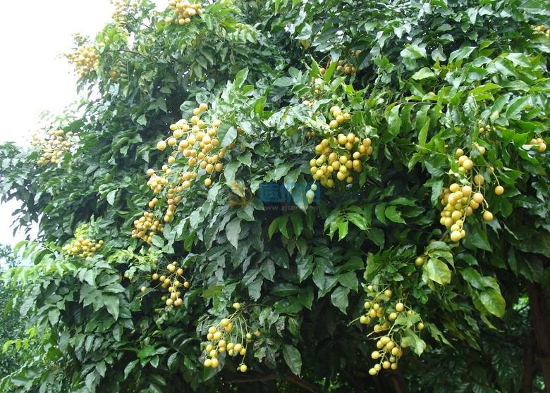 黄皮树图片