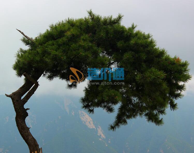 樟子松图片