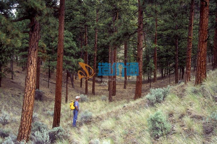 SPF加拿大松木图片