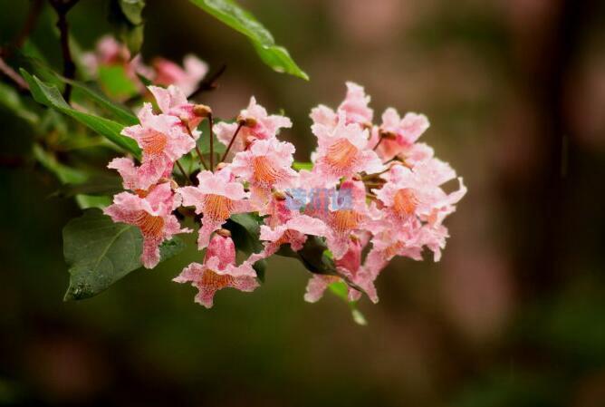 金丝楸树图片