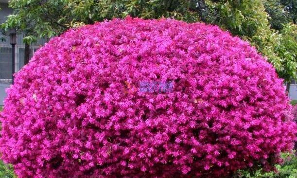 红花榉木球图片