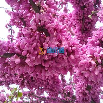 巨紫荆图片