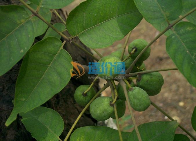 苦楝树图片