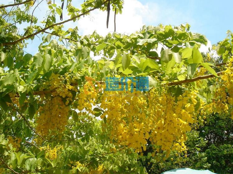 腊肠树图片