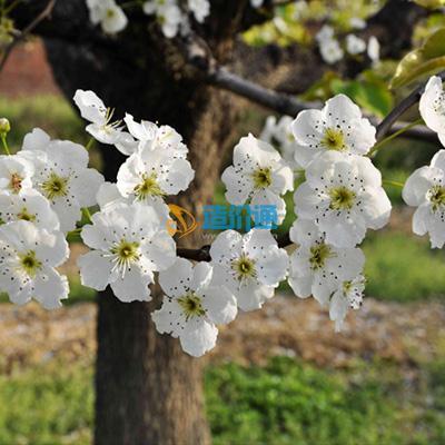 梨花海棠图片