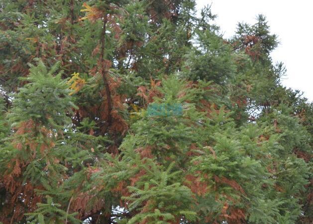 日本柳杉大茎原木图片